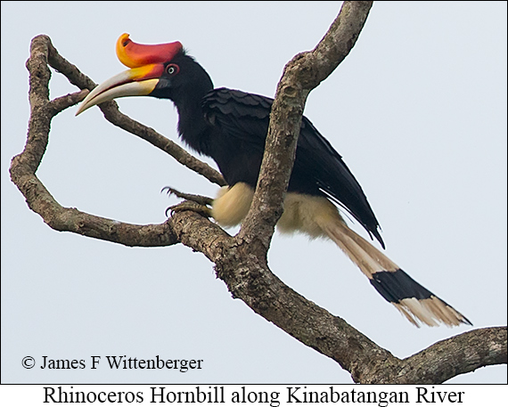 Rhinoceros Hornbill - © James F Wittenberger and Exotic Birding Tours