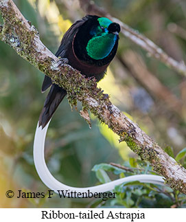 Ribbon-tailed Astrapia - © James F Wittenberger and Exotic Birding Tours