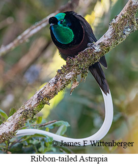 Ribbon-tailed Astrapia - © James F Wittenberger and Exotic Birding LLC