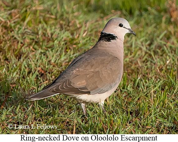 Ring-necked Dove - © Laura L Fellows and Exotic Birding Tours