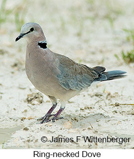Ring-necked Dove - © James F Wittenberger and Exotic Birding LLC