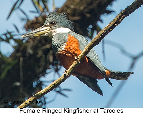 Ringed Kingfisher - © Laura L Fellows and Exotic Birding LLC