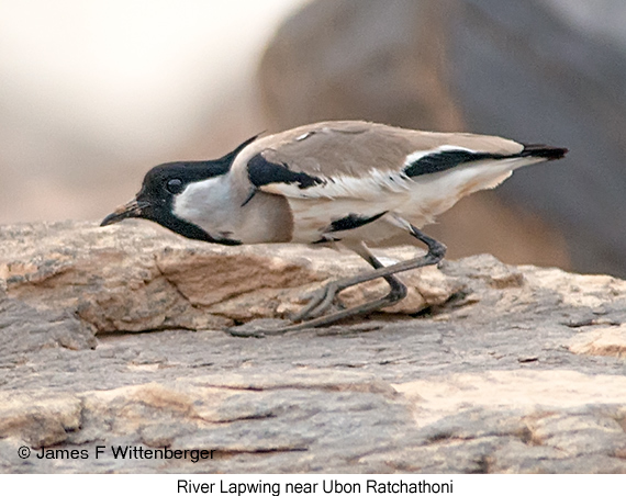 River Lapwing - © James F Wittenberger and Exotic Birding Tours