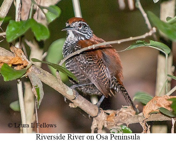 Riverside Wren - © Laura L Fellows and Exotic Birding LLC