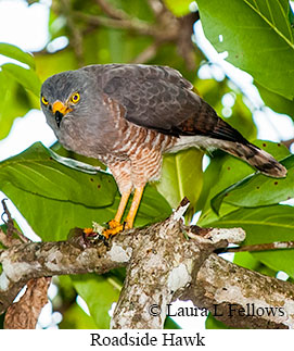 Roadside Hawk - © Laura L Fellows and Exotic Birding Tours