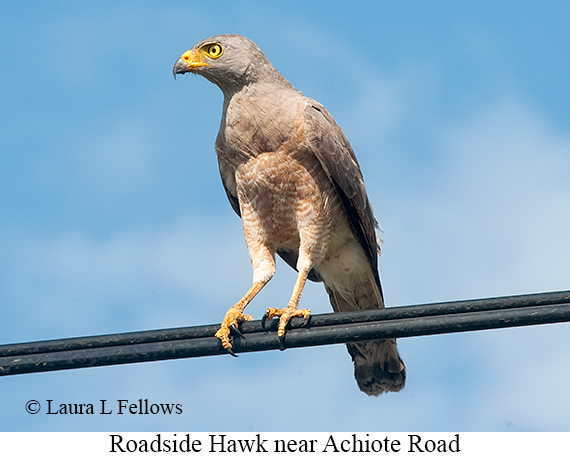 Roadside Hawk - © Laura L Fellows and Exotic Birding LLC