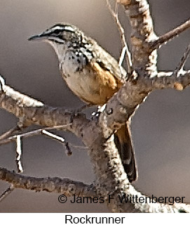 Rockrunner - © James F Wittenberger and Exotic Birding LLC
