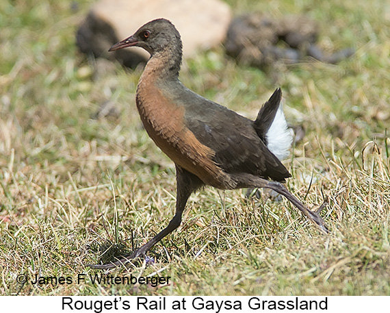 Rouget's Rail - © The Photographer and Exotic Birding LLC