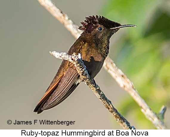 Ruby-topaz Hummingbird - © James F Wittenberger and Exotic Birding LLC