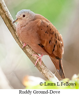 Ruddy Ground-Dove - © Laura L Fellows and Exotic Birding Tours