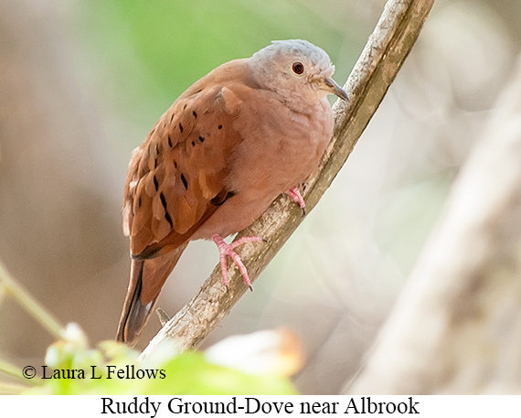 Ruddy Ground-Dove - © Laura L Fellows and Exotic Birding LLC