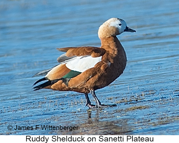 Ruddy Shelduck - © The Photographer and Exotic Birding LLC