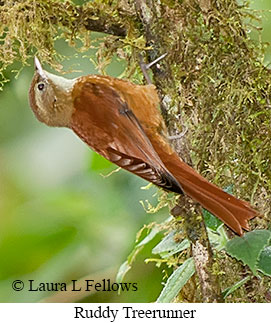 Ruddy Treerunner - © Laura L Fellows and Exotic Birding Tours