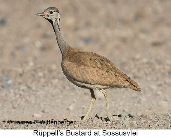 Rueppell's Bustard - © Laura L Fellows and Exotic Birding Tours