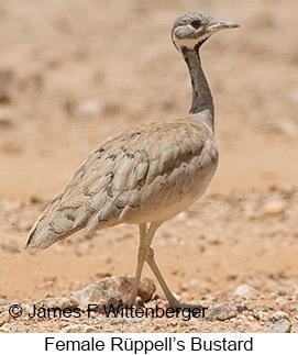 Rueppell's Bustard - © James F Wittenberger and Exotic Birding LLC