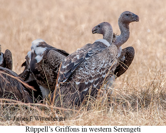 Rueppell's Griffon - © James F Wittenberger and Exotic Birding Tours