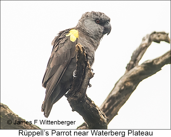 Rueppell's Parrot - © James F Wittenberger and Exotic Birding LLC
