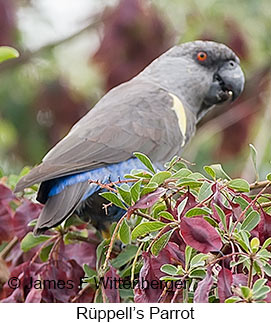Rueppell's Parrot - © James F Wittenberger and Exotic Birding Tours