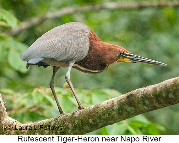 Rufescent Tiger-Heron - © Laura L Fellows and Exotic Birding LLC