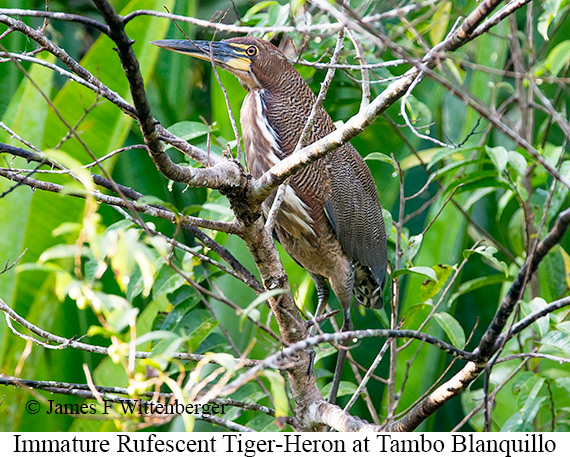 Rufescent Tiger-Heron - © James F Wittenberger and Exotic Birding Tours