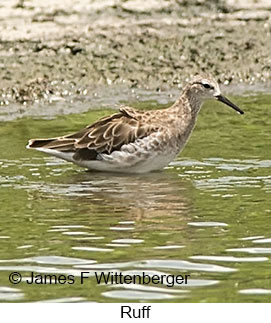 Ruff - © James F Wittenberger and Exotic Birding LLC