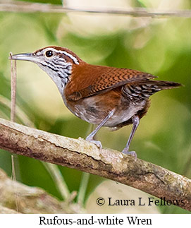 Rufous-and-white Wren - © Laura L Fellows and Exotic Birding Tours
