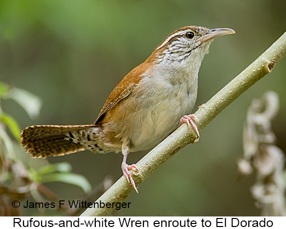 Rufous-and-white Wren - © The Photographer and Exotic Birding LLC