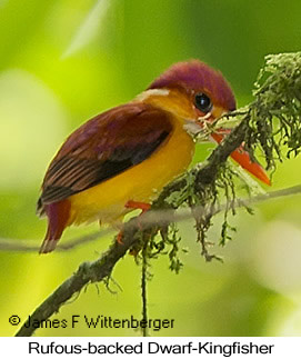 Rufous-backed Dwarf-Kingfisher - © James F Wittenberger and Exotic Birding LLC
