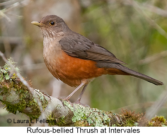 Rufous-bellied Thrush - © Laura L Fellows and Exotic Birding LLC
