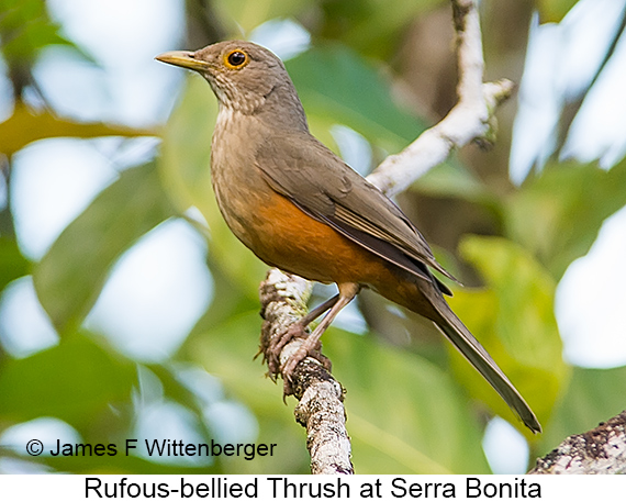 Rufous-bellied Thrush - © James F Wittenberger and Exotic Birding LLC