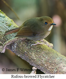Rufous-browed Flycatcher - © James F Wittenberger and Exotic Birding Tours