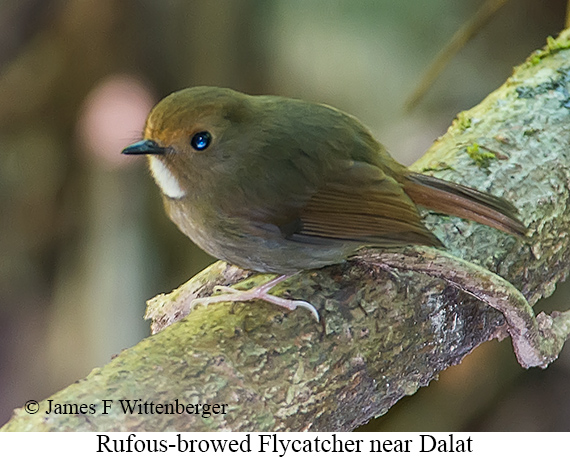 Rufous-browed Flycatcher - © James F Wittenberger and Exotic Birding LLC