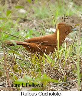 Rufous Cacholote - © Laura L Fellows and Exotic Birding LLC