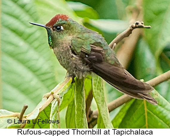 Rufous-capped Thornbill - © Laura L Fellows and Exotic Birding LLC