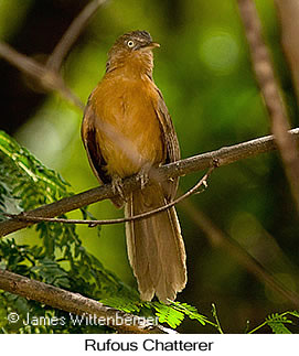 Rufous Chatterer - © James F Wittenberger and Exotic Birding Tours
