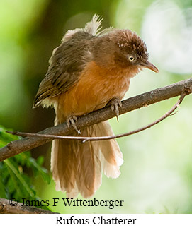 Rufous Chatterer - © James F Wittenberger and Exotic Birding LLC
