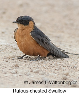 Rufous-chested Swallow - © James F Wittenberger and Exotic Birding LLC