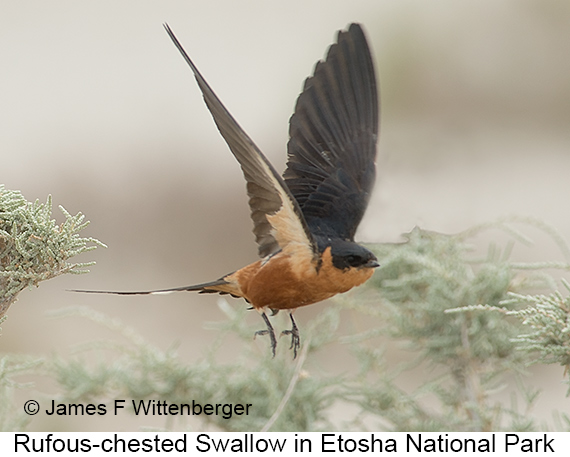 Rufous-chested Swallow - © The Photographer and Exotic Birding LLC