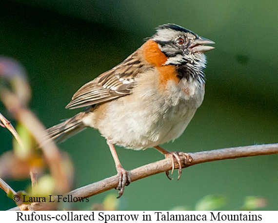Rufous-collared Sparrow - © Laura L Fellows and Exotic Birding LLC