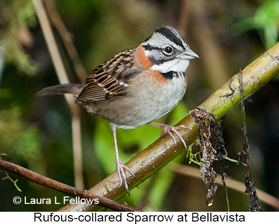 Rufous-collared Sparrow - © Laura L Fellows and Exotic Birding Tours