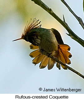 Rufous-crested Coquette - © James F Wittenberger and Exotic Birding Tours