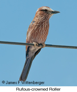 Rufous-crowned Roller - © James F Wittenberger and Exotic Birding LLC