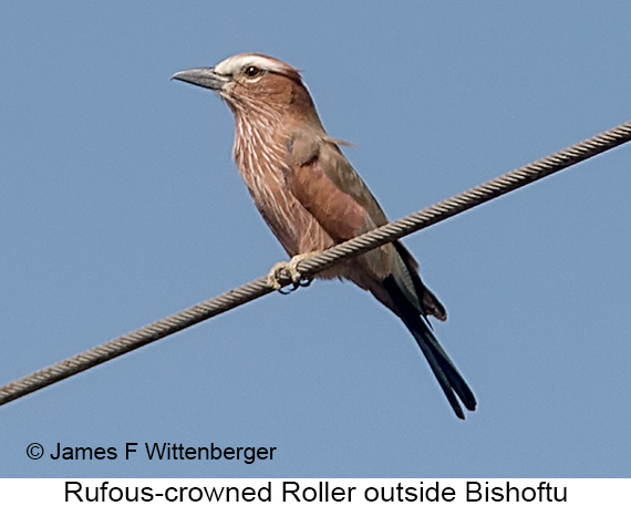 Rufous-crowned Roller - © The Photographer and Exotic Birding LLC