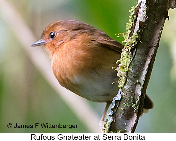 Rufous Gnateater - © James F Wittenberger and Exotic Birding LLC