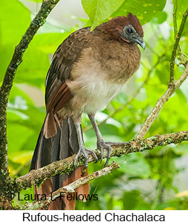 Rufous-headed Chachalaca - © Laura L Fellows and Exotic Birding Tours