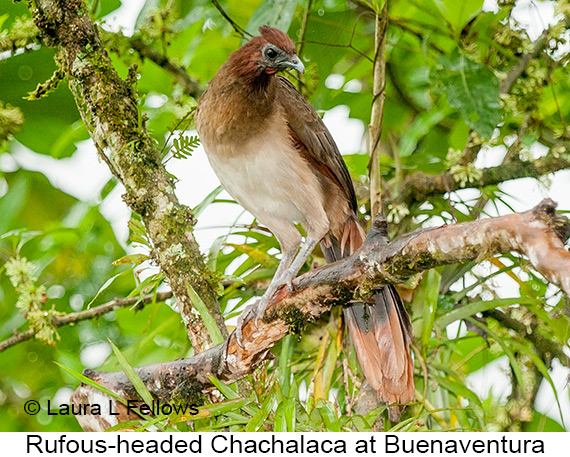 Rufous-headed Chachalaca - © Laura L Fellows and Exotic Birding LLC