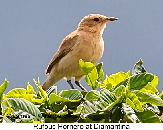 Rufous Hornero - © James F Wittenberger and Exotic Birding LLC