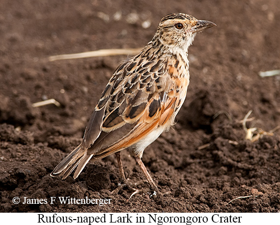 Rufous-naped Lark - © James F Wittenberger and Exotic Birding LLC