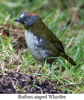 Rufous-naped Whistler - © James F Wittenberger and Exotic Birding LLC