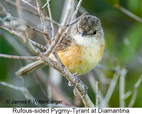 Rufous-sided Pygmy-Tyrant - © James F Wittenberger and Exotic Birding LLC